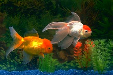 Goldfish 2 for Fish that can live with goldfish
