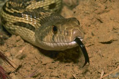 pacific gopher snake  87000.jpg