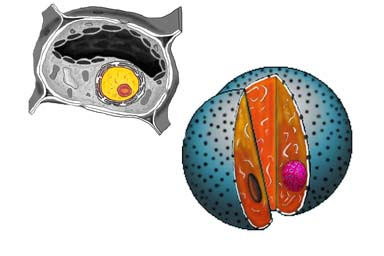 Nucleus of a plant cell ccuart Images